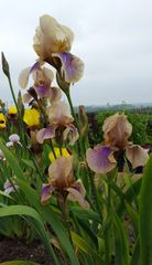 'Benton Olive' Tall Bearded Iris - Rare Historic Iris