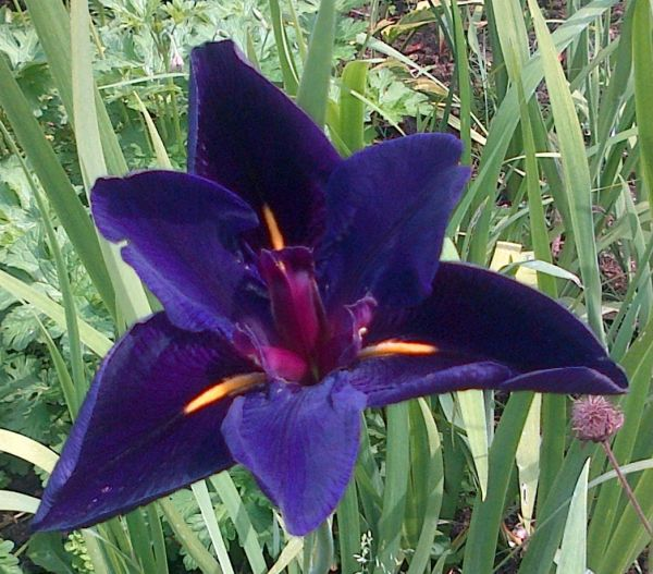 Iris louisiana - 'Black Gamecock'