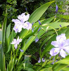 Iris confusa 'Martin Rix' - Bamboo Iris