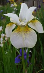 'Lincolnshire Grace' - Siberian Iris