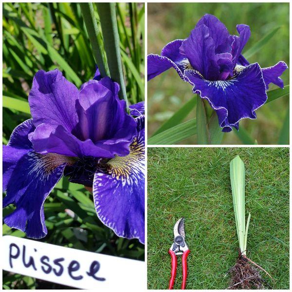 'Plissee' - Siberian Iris