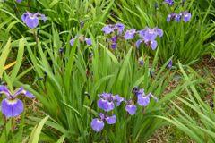 Iris setosa - Dwarf Arctic Iris