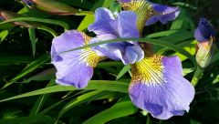 'Lincolnshire Yellowbelly' - Siberian Iris