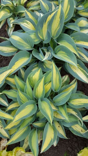 'Catherine' Hosta