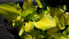 'Lakeside Banana Bay' Hosta