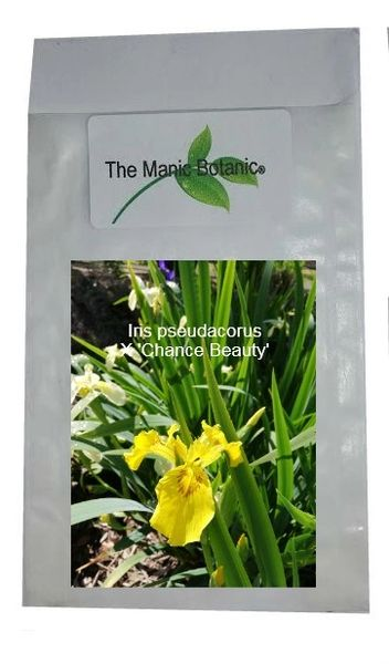 Iris pseudacorus X Chance Beauty - 40 Seeds