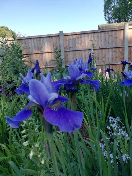 'Lincolnshire Orpheus' - Siberian Iris