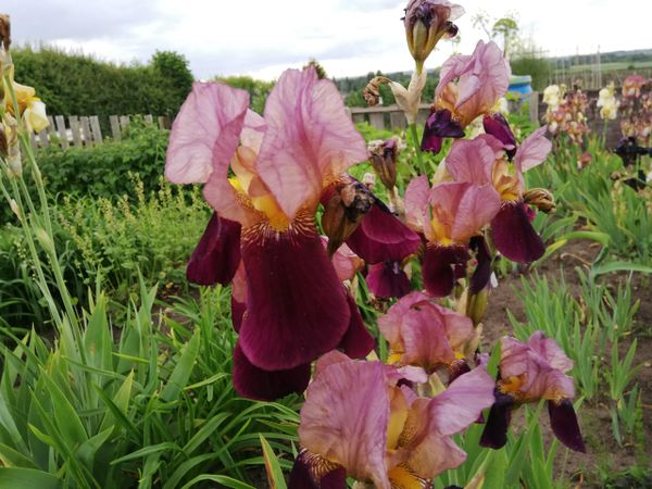 'Indian Chief' Tall Bearded Iris