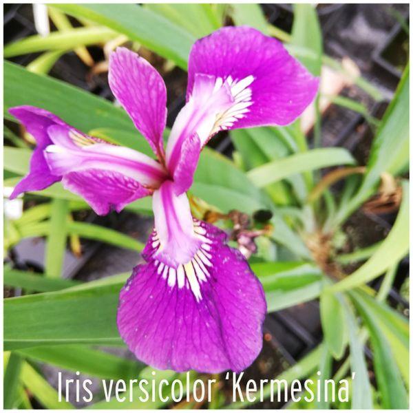 'Kermesina' Iris versicolor
