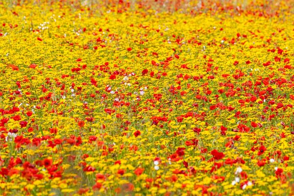 Wild Flower Meadow Seed Mix - Red & Yellow Flowering Seeds Bee Friendly Annuals