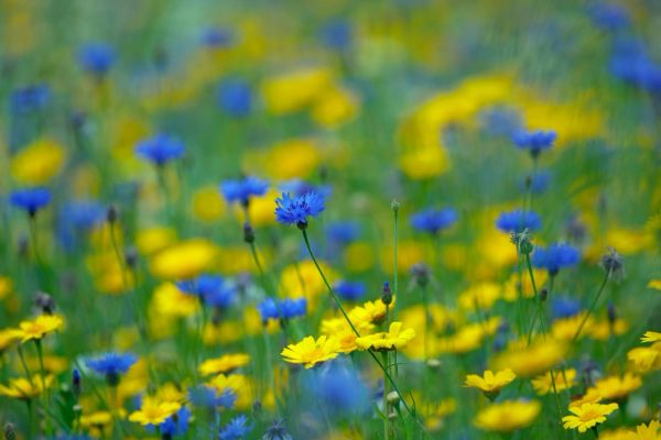 Wild Flower Meadow Seed Mix - Blue & Yellow Flowering Seeds Bee Friendly Annuals