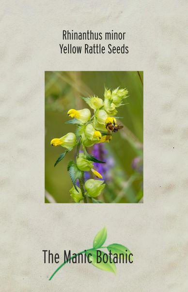 Rhinanthus major - Yellow Rattle SEEDS - Bee Friendly Native Wildflower