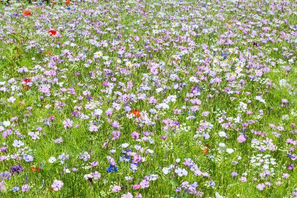 Wild Flower Meadow Seed - Agrostemma githago - Corncockle SEEDS 2g Bee Friendly