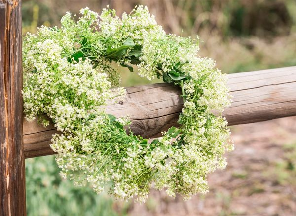 Thlaspi arvense - Penny Cress X 100 SEEDS Bee Friendly Native Wild Cut Flower