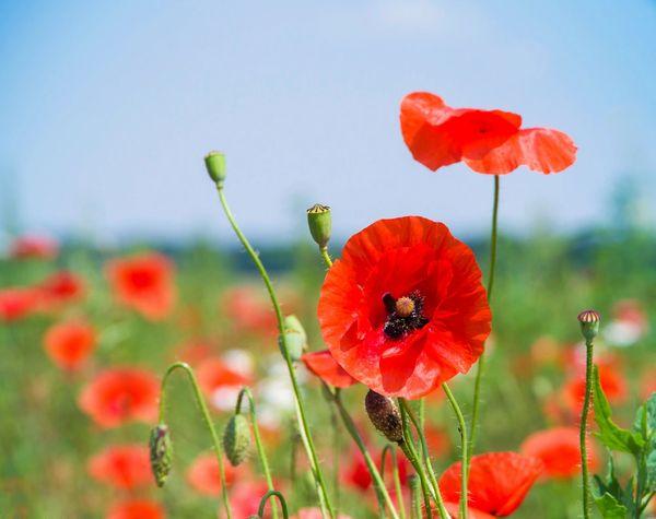 Papaver rhoes - Corn Poppy - Flanders Poppy - Wildflower Seed