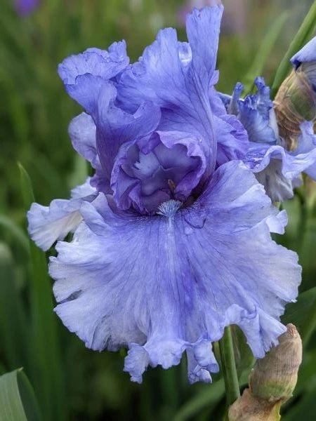 'Honky Tonk Blues' Tall Bearded Iris