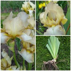 'Benton Primrose' Tall Bearded Iris - Rare Historic Iris