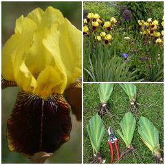 'Rajah Brooke' Tall Bearded Iris - Historic Iris