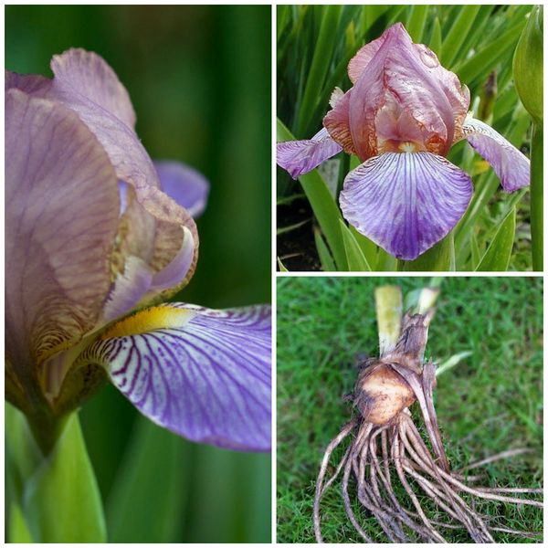 'Bangles' Miniature Tall Bearded Iris