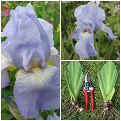 'Jane Philips' Tall Bearded Iris