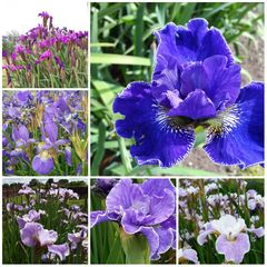 Iris sibirica - Pack of 6 - Tomas Tamberg Bred Siberian Iris