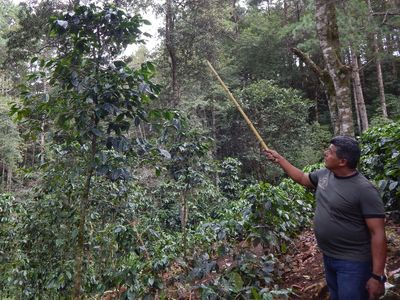 farmer pointing at a coffee plant with a wooden stick