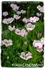 Papaver somniferum 'BRITISH PHARM. #2 [PURE*]' 300 SEEDS