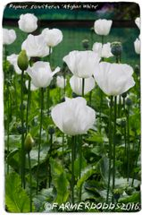 Papaver somniferum 'Afghan White' 300+ SEEDS