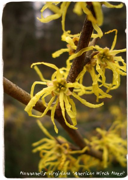 Hamamelis Virginiana American Witch Hazel 25 Seeds Papaver