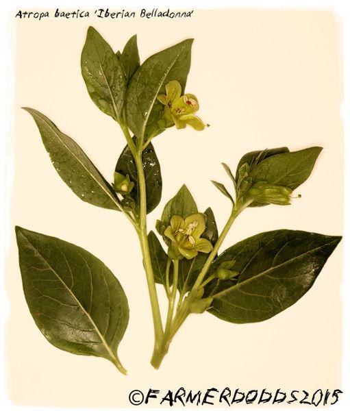Atropa Baetica Iberian Belladonna 100 Seeds Papaver