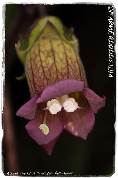 Atropa Caucasica Caucasica Belladonna 200 Seeds Papaver