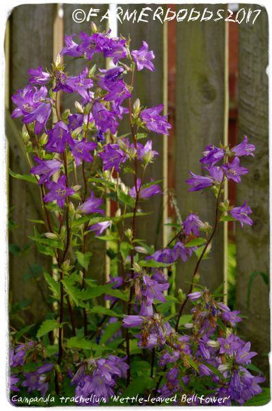 Ex. Somerset Campanula trachelium /'Nettle-leaved Bellflower/' 1000 SEEDS