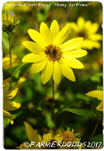 Showy Sunflower Helianthus pauciflorus 20-Seeds