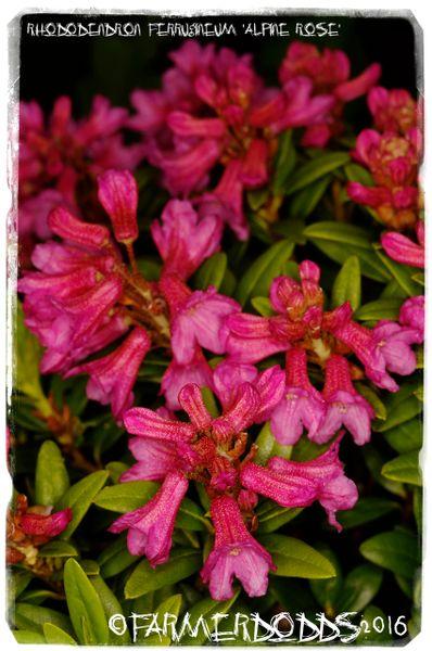 Garofani Rhododendron Caruso 60-70cm Alpi Rose