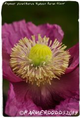 Papaver somniferum 'Kykeon Burma Giant' 100 SEEDS [Exclusive Website Only!]