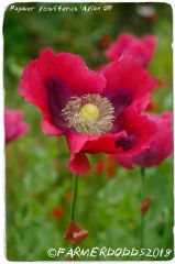 Papaver somniferum 'Asian O.B' [AKA. Asian Smooth Pod] 1500+ SEEDS