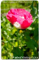 Papaver somniferum 'Afghan Re-selected' [JLH MIX] 300 SEEDS