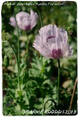 Papaver somniferum 'Kykeon Tasmanian' 1500+ SEEDS [Exclusive Website Only!]