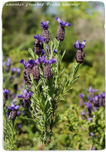 SEEDS Ex. Western Crete, Greece 100 Lavandula stoechas /'Greek Lavender/'