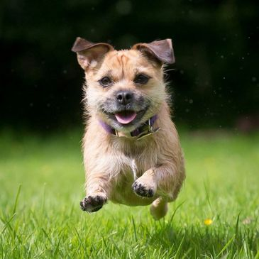 Maisy the dog running