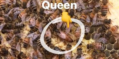 Here you can see the Queen, eggs, larvae, and capped brood(baby bees)