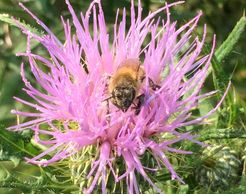 A FirFarm HoneyBee gathering some pollen on a wild thistle flower!