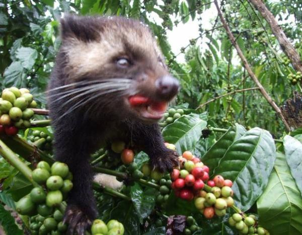 Civet Coffee - Alamid (Specialty) (Out of Stock) Contact us for orders