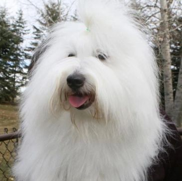 A Coton de Tulear posing with his owner