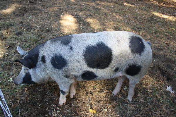 Breeder Piglet Deposit Meishan Cross