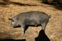 Feeder Piglet Deposit Meishan Cross