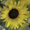 Photography, Sunflower
