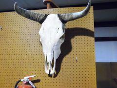 Cow Skull & Horns