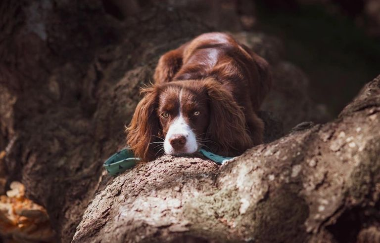 Brown Cavapoo dog laying on a tree root looking directly into the camera
