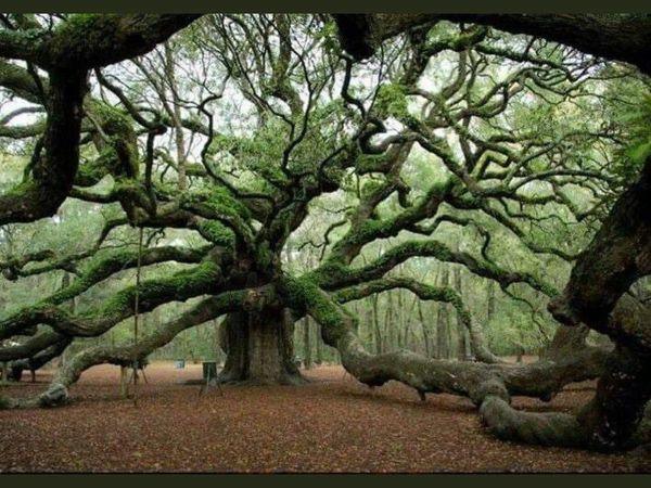Earthen Oak